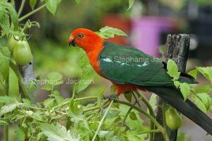 Male Australian king parrot, Alisterus scapularis on tomato plants