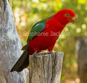 Male Australian king parrot, Alisterus scapularis