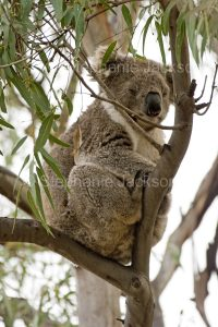 Australia koala, Phascolarctos cinereus