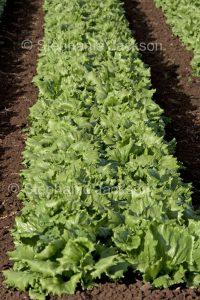 Row of fresh lettuce growing on an organic farm in Australia