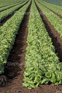 Rows of fresh lettuces growing on an organic farm in Australia