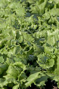 Fresh lettuce growing on an organic farm in Australia