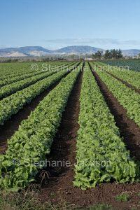 Field of fresh lettuces, salad vegetables, growing on an organic farm in Australia