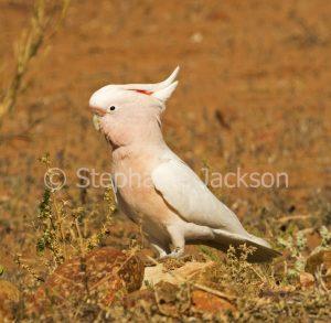 Major Mitchell / pink cockatoo, Lophochroa leadbeateri in outback Australia