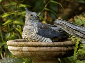Pacific Baza / Crested Hawk
