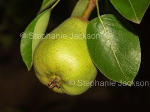 Pear growing agaisnt dark background