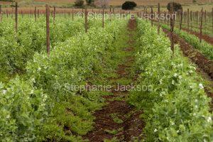 Filed of peas growing