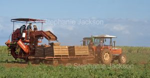 Mechanical harvesting of crop of potatoes on farm in Australia