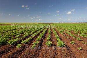Rows of potatoes growing in a farm field in Australia