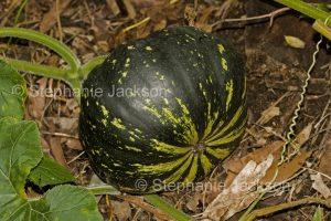 Green pumpkin growing
