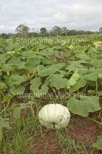 Field of pumpkins growing on an organic farm in Australia