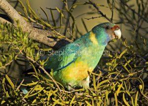 Ring-necked parrot, Barnardius zonarius, feeding on seeds of mistletoe