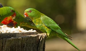 Scaly breasted lorikeet, Trichoglossus chlorolepidotus