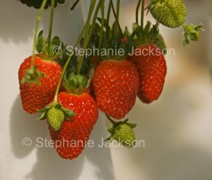 Ripe strawberries growing at a hydroponic farm in Australia
