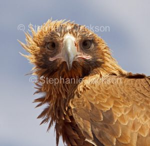 Face of Wedge-tailed eagle, Aquila audax