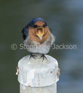 Welcome Swallow, Hirundo neoxena, fledgling