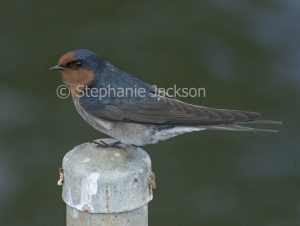 Welcome Swallow, Hirundo neoxena