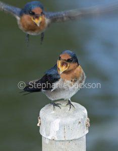 Welcome Swallow, Hirundo neoxena fledglings