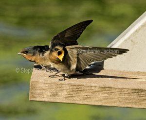 Welcome Swallows, Hirundo neoxena, fledglings