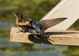 Welcome Swallow, Hirundo neoxena, feeding fledgling