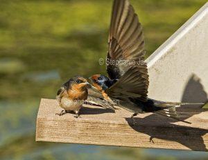 Welcome Swallow, Hirundo neoxena, in flight beside fledgling