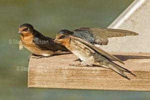 Welcome Swallows, Hirundo neoxena,
