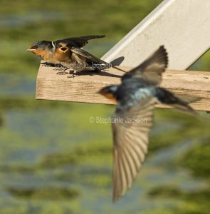 Welcome Swallow, Hirundo neoxena, in flight with chicks nearby