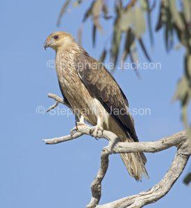 Whistling kite, Haliastur sphenurus