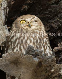 Australian nocturnal bird of prey, Barking / winking Owl, Ninox connivens in outbac Australia