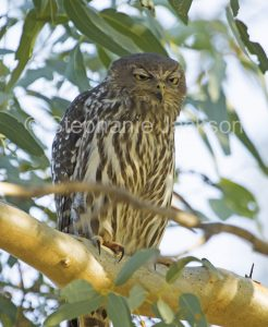 Australian nocturnal bird of prey, Barking Owl, Ninox connivens