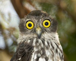 Australian nocturnal bird of prey, face of Barking Owl, Ninox connivens
