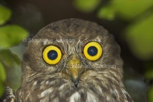 Face of barking owl, Ninox connivens, with huge golden eyes staring at the camera