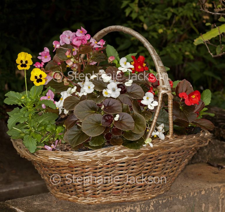 Annual plants and bedding begonias growing in recycled wicker basket