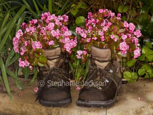 Bedding begonias, begonia semperflorens, growing in old leather boots