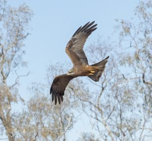 Black Kite, Milvus migrans, in flight