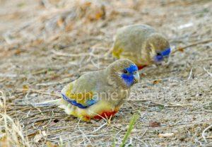 Australian parrots, Eastern Blue Bonnet, Northiella haematogaster