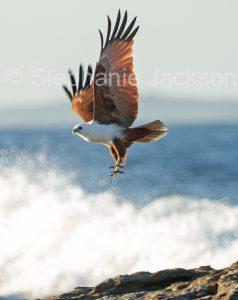 Brahminy Kite, Haliastur indus, in flight