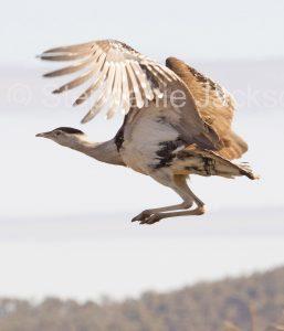 Australian Bustard, Ardeotis australis, in flight in outback Australia