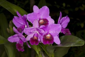 cluster of purple flowers of Cattleya orchid