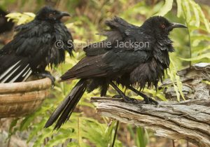 White-winged chough, Corcorax melanorhamphos, with feathers soaking wet after bathing in a garden bird bath during a summer heatwave in Queensland Australia.hos, wet after bathing in garden bird bath