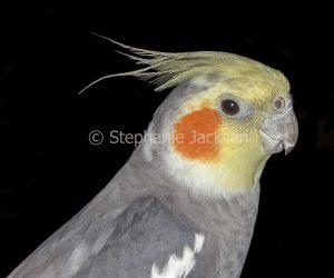 Face of Australian parrot, Cockatiel, Nymphicus hollandicus