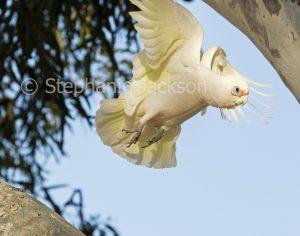 Little corella, Cacatua sanguinea, in flight