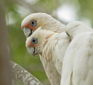 Little corellas, Cacatua sanguinea,