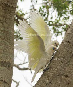 Little corellas, Cacatua sanguinea, in flight