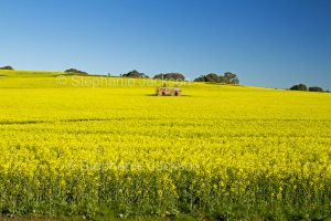 Field of flowering canola / rape seed with ruins of cottage in middle of crop