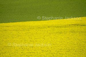 Field of flowering canola / rape seed beside crop of emerald greenwheat