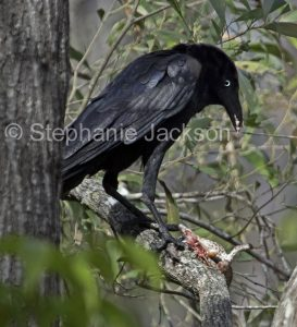Australian birds and evolution, Torresian Crow eating poisonous cane toad in Australia