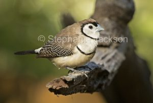 Australian birds, Double-barred finch, Taeniopygia bichenovii