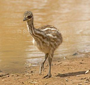 Australian emu chick, Dromaius novaehollandiae by water