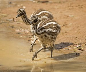 Australian emu chicks, Dromaius novaehollandiae, in water